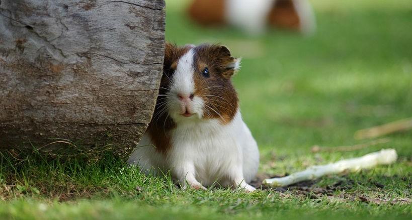 Como Cuidar Hamster