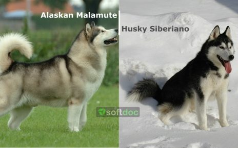 Alaskan Malamute y Husky Siberiano