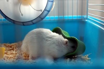 Como Alimentar un Hamster