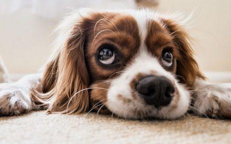 Síntomas de la hernia discal en perros y recuperación